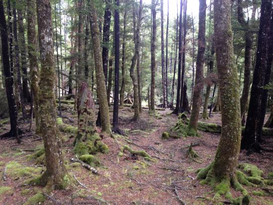 Мерчисон, Новая Зеландия: Beautiful walk in through beech stands