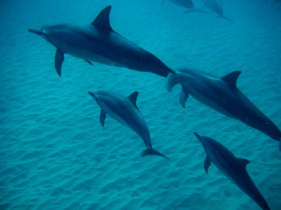 Tamarin: swimming with the dolphins