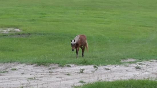 Alachua, FL: Shetland Pony