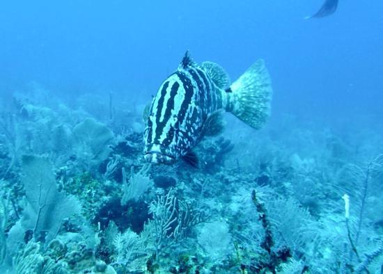 Punta Gorda, Belize: Nassau grouper following us during a dive