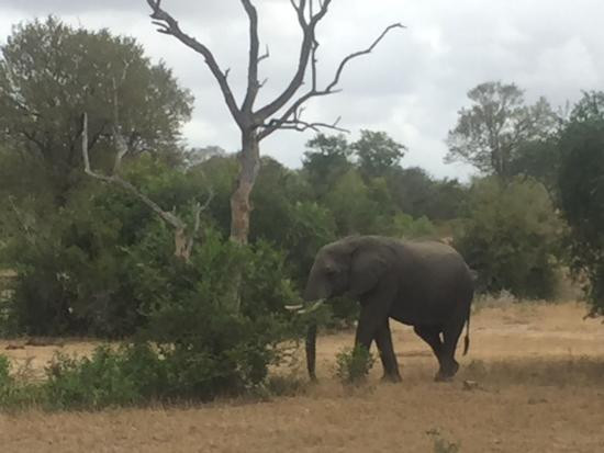 Singita Boulders Lodge: Elephant on game drive