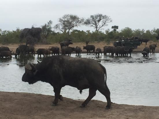 Singita Private Game Reserve, แอฟริกาใต้: Buffalo at the watering hole on game drive