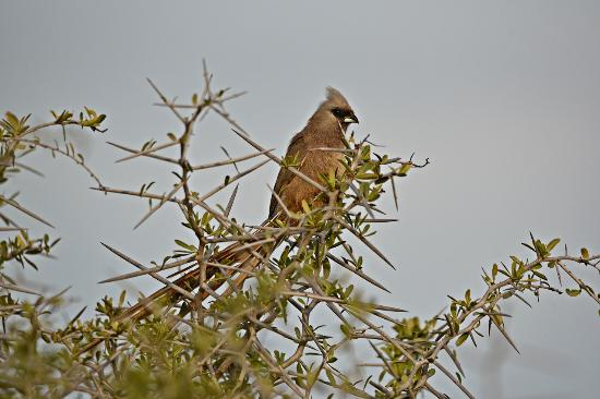 River Bend Lodge: Speckled Mousebird - finally sitting still long enough.