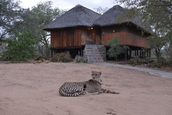 Tshukudu Bush Camp: Hug the cheetah, she'll love it!