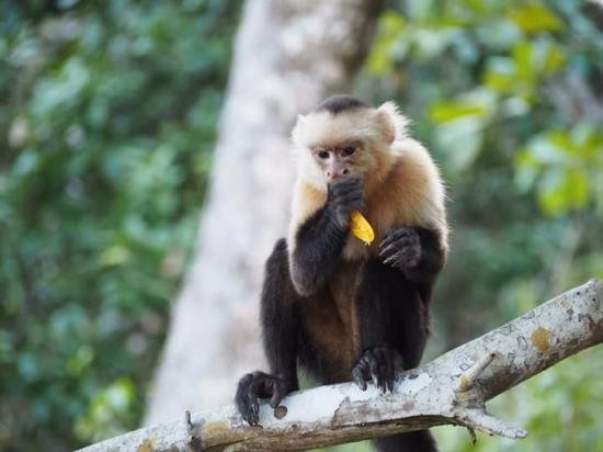 Cabuya, Costa Rica : Monkey I saw during my surfing lessons