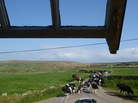 Zennor, UK: Milking Time