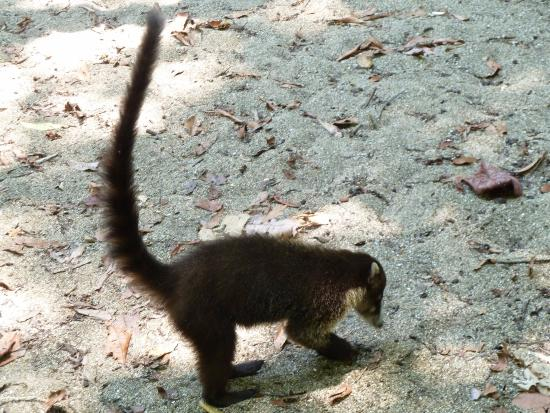 Carate, Costa Rica: Raccoon-like animals