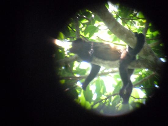 Carate, Costa Rica: Spider monkey