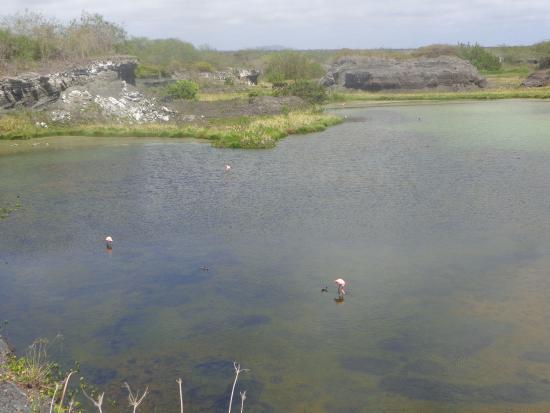 Puerto Villamil, Ekuador: Flamingos na Laguna Salinas, em Isabela, Galápagos.
