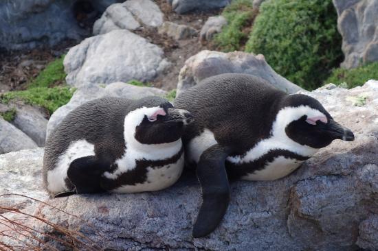 Betty's Bay, Afrika Selatan: Penguins