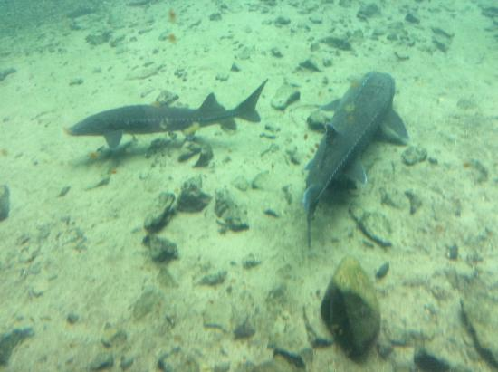 Cascade Locks, OR: Many different sizes of Sturgeon.