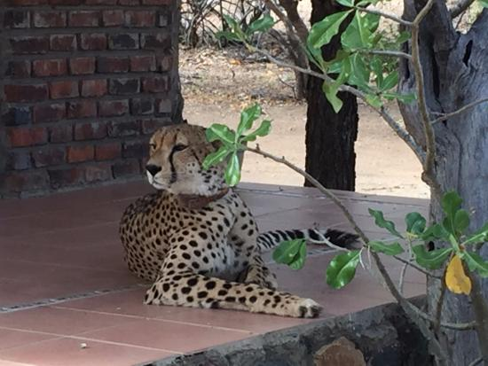 Marula Camp: Cheetah relaxing around the camp after their successful kill.