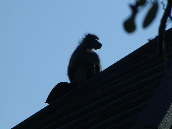 Mabula Private Game Reserve, Sydafrika: Baboon on my roof