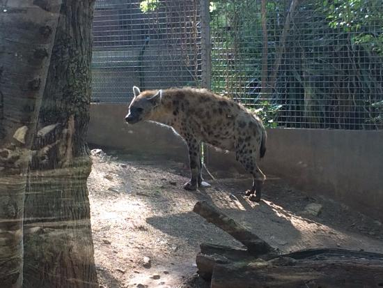 Hyena - バルセロナ、バルセロナ...