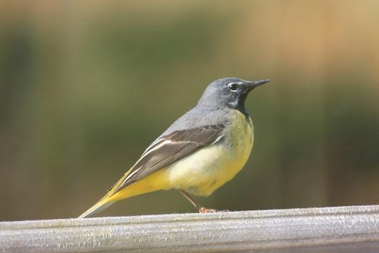 Banchory, UK: This is the grey wagtail that visited us every day