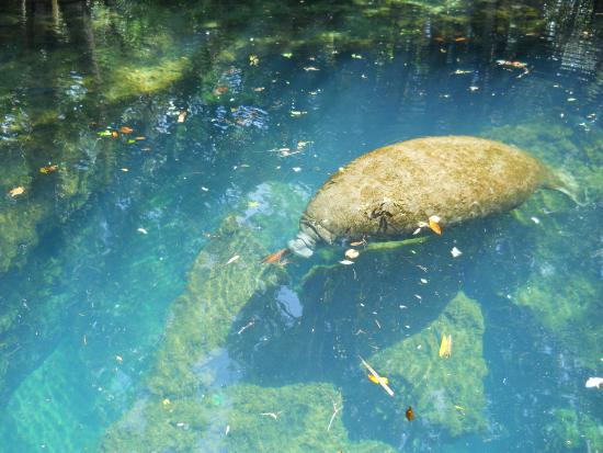 Homosassa Springs, FL: Manatee near the underwater observatory.