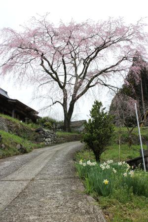 Miyagi no Sato Weeping Cherry Blossoms