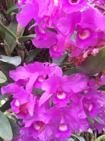 Greenhouses, College of the Ozarks: Orchid - Cattleya