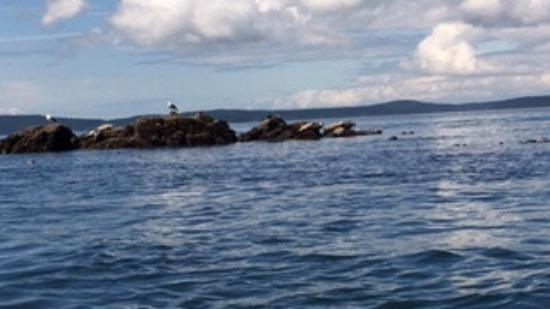 Anacortes, WA: Seal Island, there were at least 10 or so, 2 pups and more in the water that followed behind us.