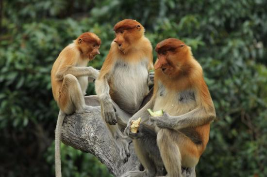 Sepilok, Malasia: Proboscis monkeys at Labuk Bay