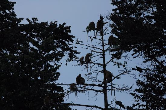 Kota Kinabatangan, Malasia: Proboscis monkey troop at bed time
