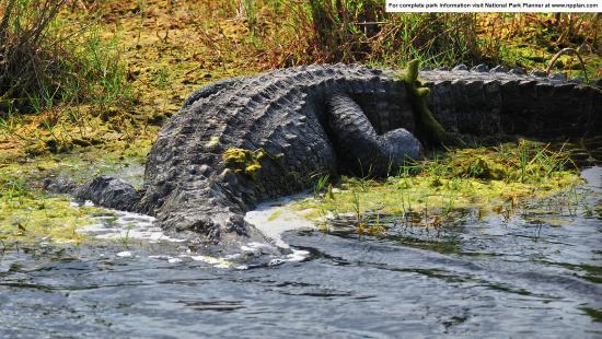 Canaveral National Seashore: Alligator at Merritt Island National Wildlife Refuge