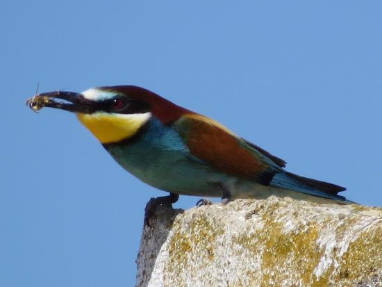 Granada, Hiszpania: Bee-eater near Fuente de Piedra