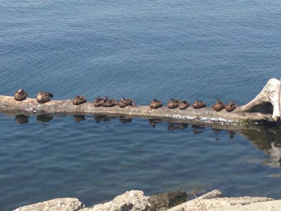 Harrison Township, MI: all our ducks in a row--lake St. Clair