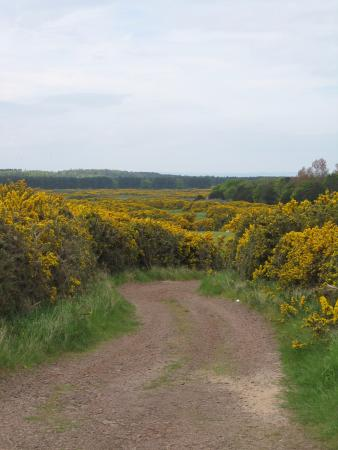 East Lothian, UK: Gorse in full bloom - beautiful and often seen along the way