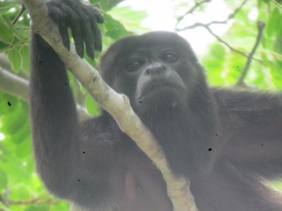 La Cruz, Κόστα Ρίκα: Howler monkey