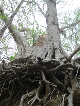 La Cruz, Κόστα Ρίκα: Cool tree