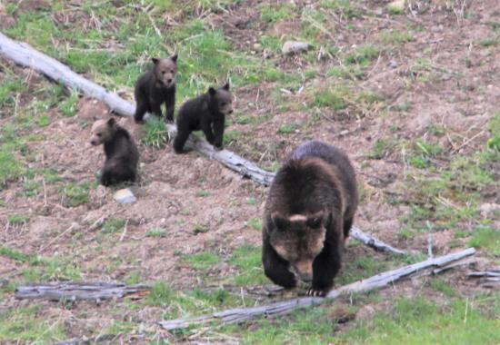 Gardiner, MT: Grizzly bear and two cubs of the year
