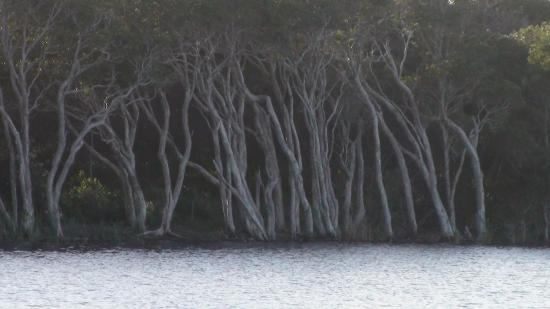 Lennox Head, Австралия: Trees at the edge of the Lake Ainsworth