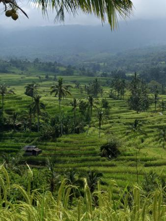 Jatiluwih Green Land: Jatiluwah rice terraces