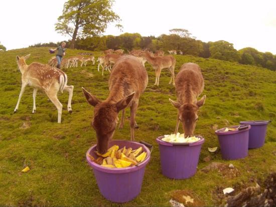 Chapel-en-le-Frith, UK: Deer feeding