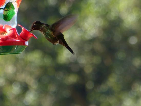 San Gerardo de Dota, Costa Rica: colibri sur la terrasse
