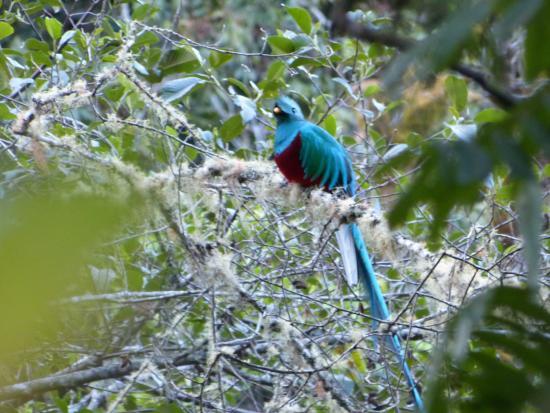 San Gerardo de Dota, Costa Rica: le quetzal resplendissant
