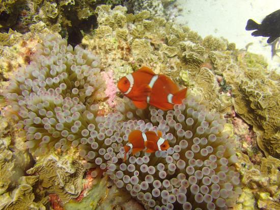 Остров Вакатоби, Индонезия: Clownfish