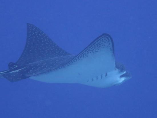 Black Rock Dive Centre: Eagle Ray spotted by Renate and photographed by Joanna