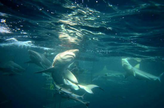 Scottburgh, Sudáfrica: Shark Cage Diving KZN