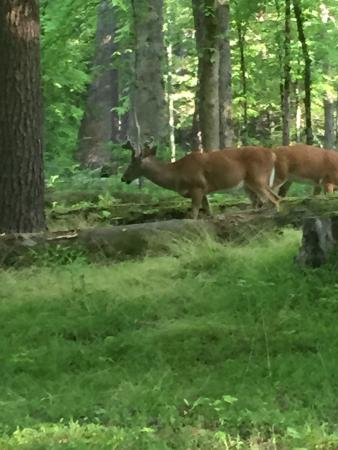 Townsend, TN: Deer came right thru our camp yesterday morning -