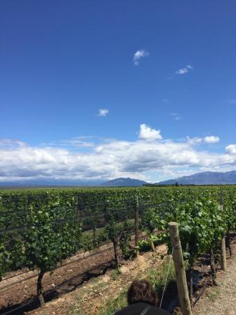 أجريلو, الأرجنتين: The vines