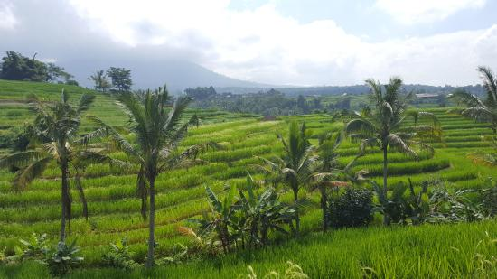 Jatiluwih Green Land: view from viewpoint near the main road