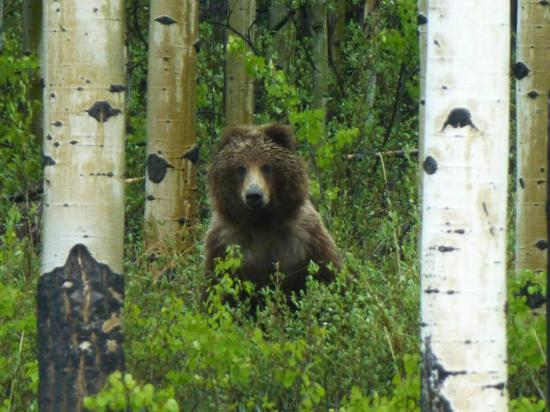 Kathleen Lake: Grizzly bear in the aspens