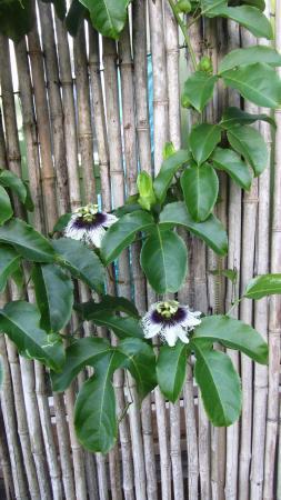 Maui Ocean Breezes: Fleurs du jardin (lilikoi)