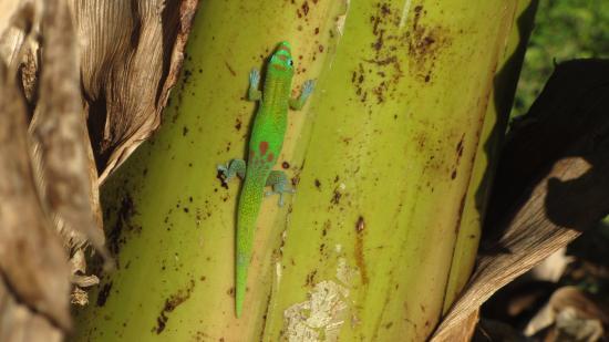 Maui Ocean Breezes: gecko dans le jardin