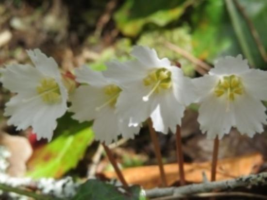 Jocassee Lake Tours: Oconee Bells