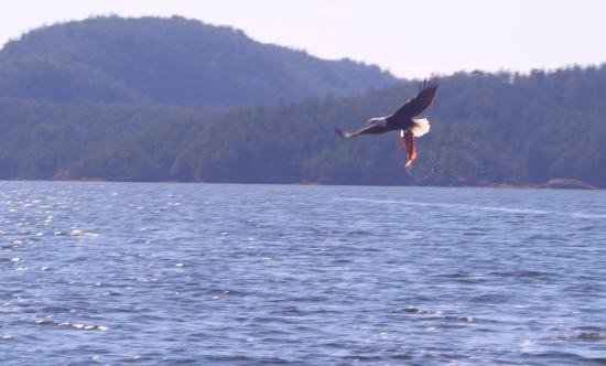 Campbell River, Kanada: Golden eagle with an ocean fish
