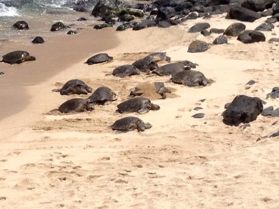 Paia, HI: Turtle landing a sight to behold.