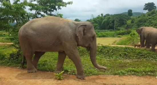 Boon Lott's Elephant Sanctuary : Elephant walks